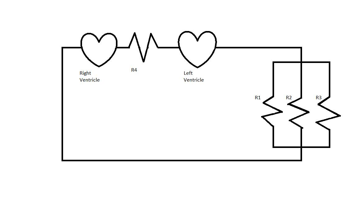 Circulatory_system_circuit