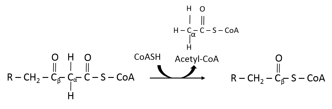 Thiolase rxn beta oxidation